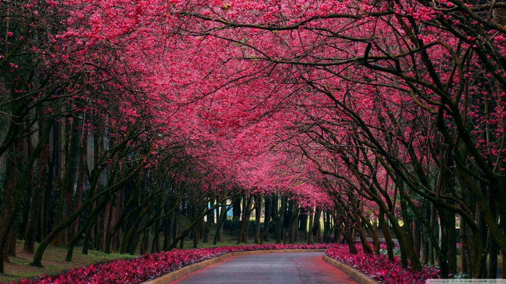 blooming_trees_alley-wallpaper-1366x768