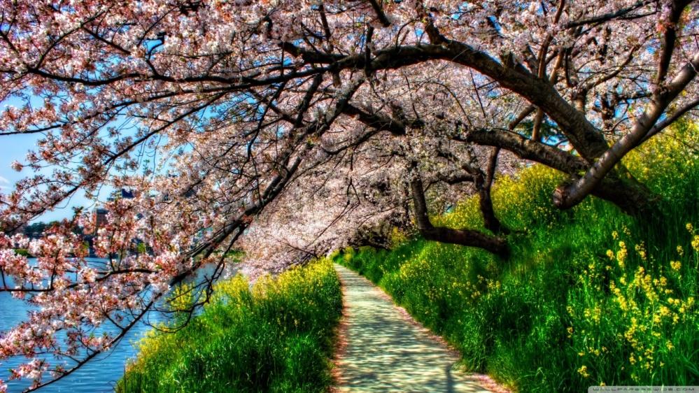 cherry_blossom_tunnel-wallpaper-1366x768
